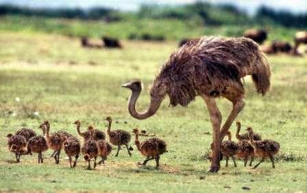 страус африканский,