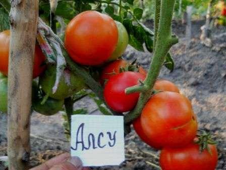 Большинство дачников и фермеров сошлись во мнении, что одним из лучших в крупноплодной группе является томат Алсу. Описание сорта, фото, отзывы — все это вы найдете на этой странице.
