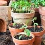 Когда сажать томаты на рассаду в 2017 году?