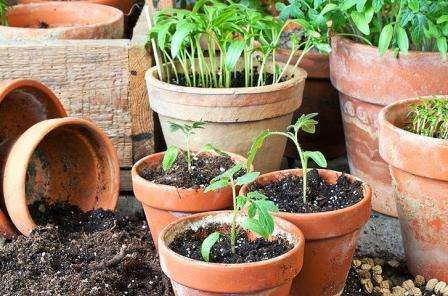 Если вы сажали семена в общий контейнер, то при появлении первых настоящих листочков сеянцы нужно пересадить в отдельные емкости.
