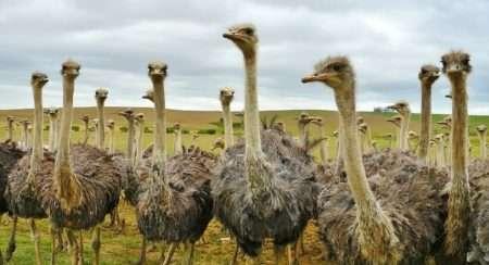Содержание и разведение страусов в домашних условиях: видео и советы