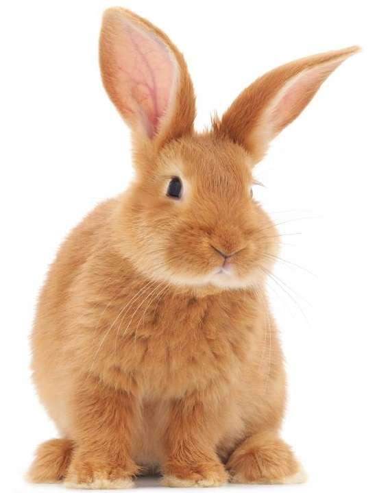 бургундские кролики, описание породы и их продуктивных качеств вызывает интерес