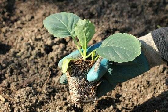 Перед посадкой нужно определиться с сортом, однако опытные фермеры решают выращивать каждого сорта