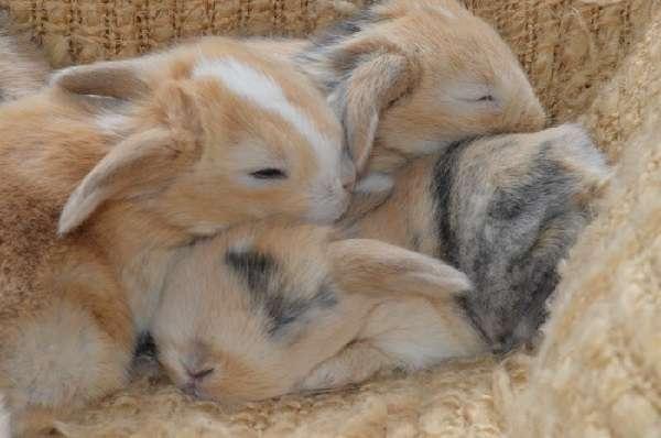 кроликовод может не переживать о росте и хорошем развитии пушистых зверьков