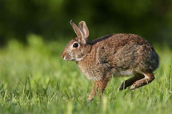 Лечение миксоматоза кроликов в домашних условиях