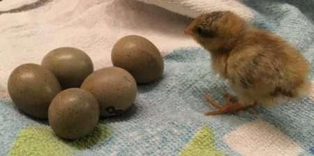 Когда нужно закладывать яйца в инкубатор: советы и видео