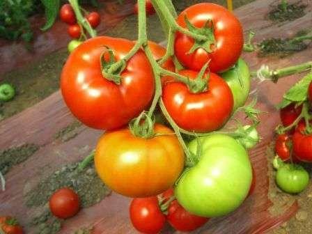 С одного корня при хорошем уходе можно собрать до 8 кг плодов, с 1 м² это получается 20-25 кг. Неплохо, правда?