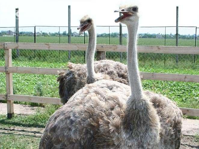 Просторным. В целом, можно привести такие цифры, которые помогают содержать страусов в комфортных для них условиях