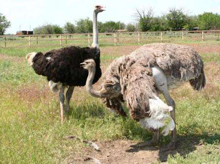 Размножение страусов. У страусов, которые выращиваются в России, период размножения зависит от климата, а, значит, наступает примерно в марте и длится до середины осени.