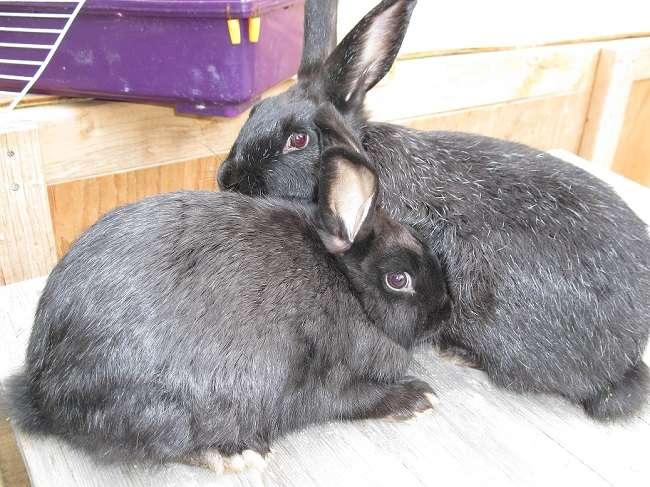 Серебристый кролик: преимущества породы и продуктивные характеристики