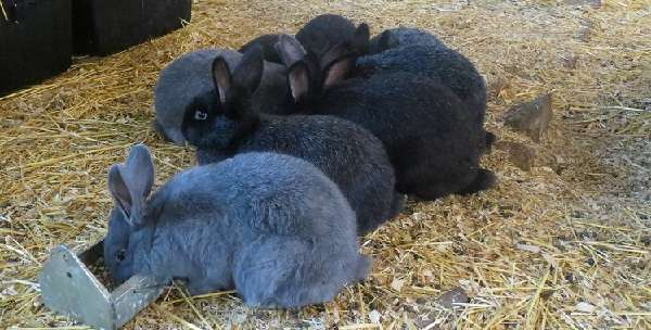 венский голубой кролик, характеристика и преимущества