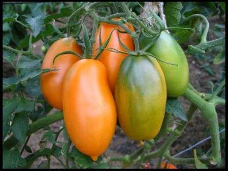 Обратите внимание на томат Золотой Кенигсберг. Описание сорта, фото и другую информацию для ознакомления вы найдете на этой странице нашего сайта для современных фермеров.