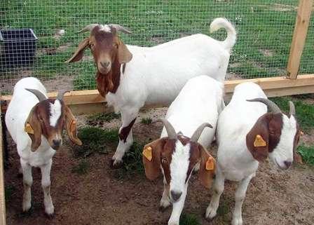 Хочется отметить породу коз – Ламанча. Выведена она была в Соединенных Штатах Америки. Козы этой породы способны давать до восьми литров молока в течение суток. Довольно неплохим преимуществом породы Ламанча является то, что козы способны произвести за беременность до четырех козлят.