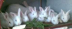 кролики породы белый Паннон, описание и продуктивная характеристика
