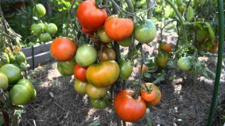 Сорта томатов, устойчивых к фитофторозу для теплиц, включают и этот ультраранний сорт с дружным созреванием.