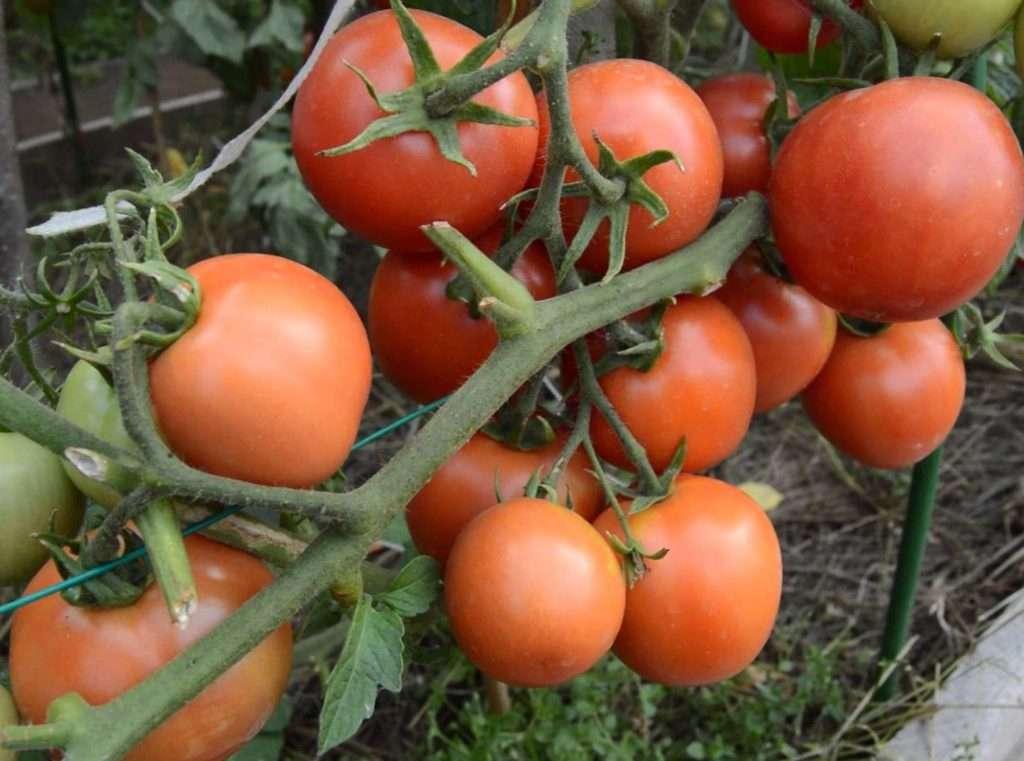 Изучив предоставленную информацию, вы сможете точно понять, стоит ли выращивать томат Ямал на своем участке, и будете полностью подготовлены к этому.