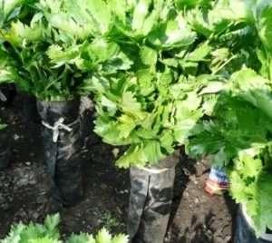 Высаживать рассаду сельдерея рекомендуют в предварительно подготовленную и удобренную почву