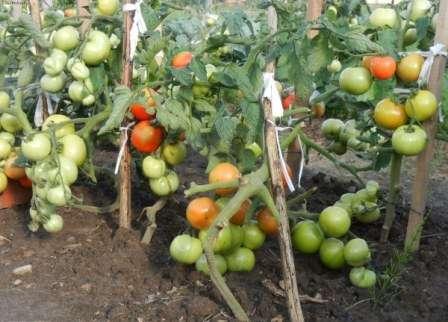 В любом случае вы получите хороший показатель по урожайности и дружную отдачу плодов.