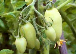 Посадив томат Ракета на своем участке, можно практически не переживать о том, каким будет урожай.