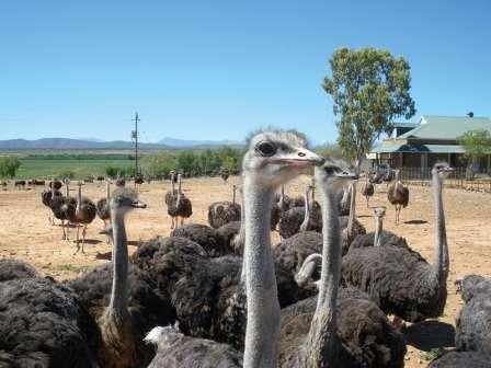 грамотной организации хозяйства и правильном выборе породы страусов для разведения. Хотя известно множество видов этих птиц, не все они приспособлены для выращивания в домашних условиях.
