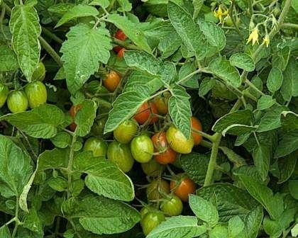 Сегодня рассмотрим помидоры для открытого грунта для Подмосковья без пасынкования.