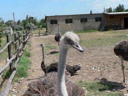 Помещение. Для содержания страусов не требуется помещение какой-либо особенной структуры или слишком утеплённое.