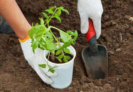 В ОГ томат Французский гроздевой необходимо высаживать тогда, когда среднесуточная температура будет равна 13 °С.