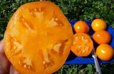 Хурма — томат с желтыми плодами, по виду очень напоминающими одноименный фрукт. Очень вкусный, урожайный, лежкий сорт.