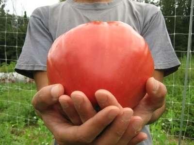 Чем же среди своих сородичей выделяется томат Вельможа? Характеристика и описание сорта, которые вы найдете на этой странице, помогут вам в этом разобраться.
