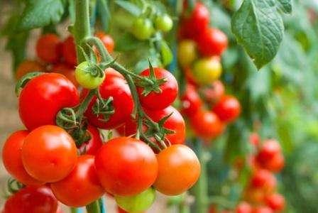 К счастью земледельцев существуют сорта томатов, устойчивых к фитофторозу. Для теплиц это особенно важно, так как в замкнутом пространстве распространение заболевания происходит значительно быстрее.