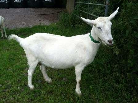 Зааненские козы, описание породы