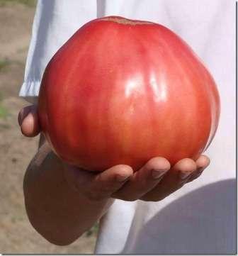 Сорт, включающий редкое сочетание низкорослости и крупноплодности. Очень вкусны его сердцевидные плоды весом до 500 г. Их размер зависит от формирования куста.