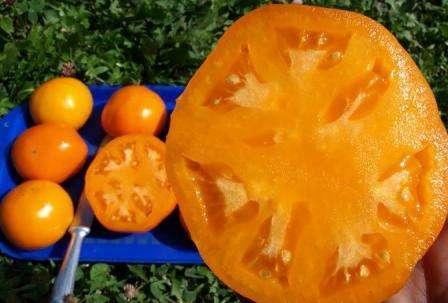 Плоды томата Хурма имеют в стадии зрелости ярко-желтую окраску. Средний вес — 300-400 г, иногда можно встретить экземпляры по 500 г и более.