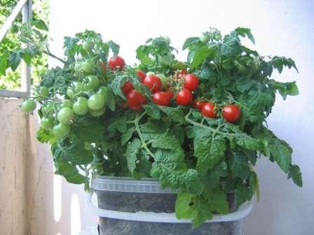 Маленькие красивые кустики, высотой до 30 см дают за сезон около 1 кг с куста.