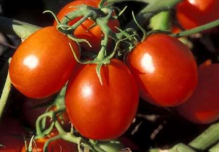 Поздний томат для открытого грунта с плодами весом 60-80 г и высотой куста — 50 см.