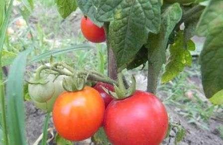 Низкорослый куст с круглыми плодами среднего размера, приятными на вкус, лежкими. Сорт хорошо противостоит засухе и болезням.