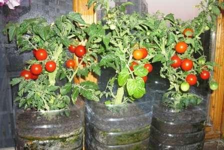Один из самых декоративных сортов томатов для подоконника.