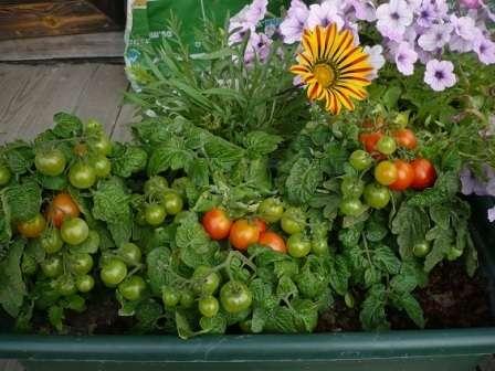 Великолепный горшечный сорт помидоров, который можно выращивать и летом на улице, и зимой на окне.
