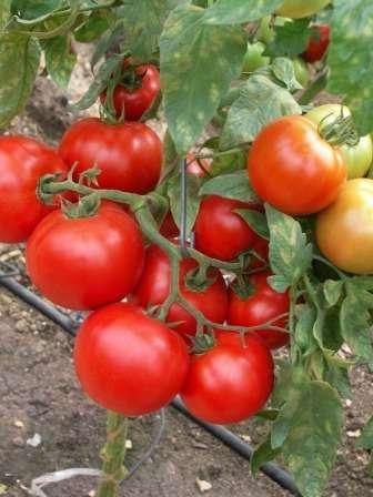 Семена этого сорта дадут вам низкорослые — 50 см — кусты с крупными плодами — до 250 г.