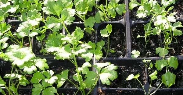 Выращивание сельдерея корневого в открытом грунте требует от огородника трепетного ухода