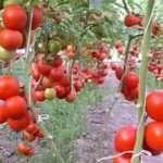 Лучшие индетерминантные сорта томатов для открытого грунта
