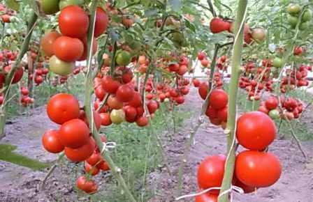 индотерминантные сорта помидор для теплиц