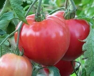 Из этой статьи сайта о ведении фермерского хозяйства вы подробно узнаете все отличительные характеристики, которые имеют томаты Большая мамочка. Фото, отзывы, кто сажал, помогут вам оценить его по достоинству.