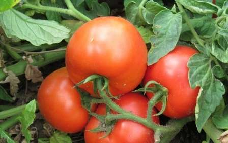 Урожайный гибридный сорт томата от голландских селекционеров, семена которого превращаются в низкорослые кусты с плодами весом около 200 г.