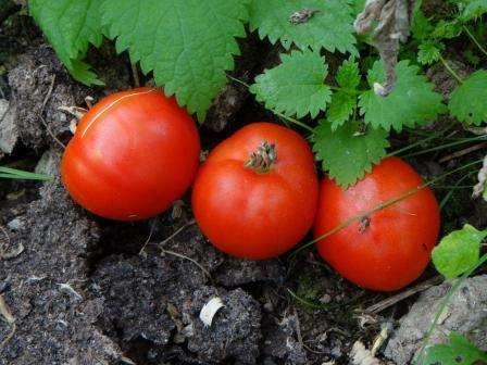 В этой статье мы разместили для вас всю доступную информацию про томат Грунтовый Грибовский: отзывы, фото сорта, характеристика.