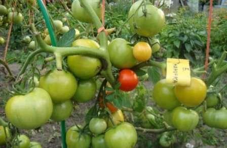 При схеме посадки 40 х 50 см ведро помидоров с квадратного метра посадки — это хорошо.