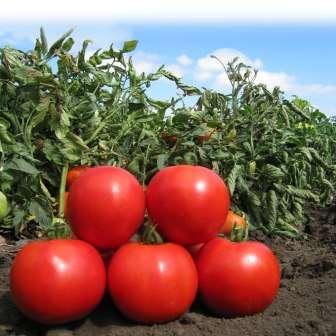 Ранние сорта томатов для открытого грунта, низкорослые, о которых пойдет речь в этой статье, начинают созревать уже на 80-105 дней после того как семена проклюнутся из-под земли.
