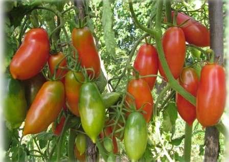 Подыскиваете хороший засолочный сорт помидоров? Томат Французский гроздевой, отзывы и фото которого вы найдете в этой статье, — это то, что вам нужно.