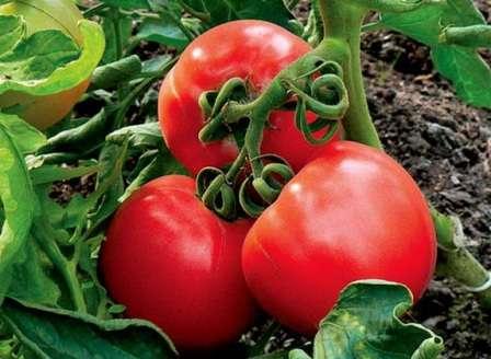 Будьте уверенны, вы не пожалеете, посадив томат Ирина F1.