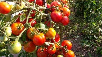 Для томата Ирина более всего подходит рассадный способ выращивания.